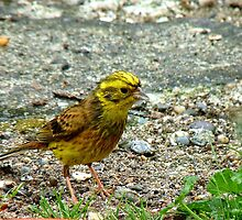 Meager Pickings Here! Yellowhammer- Southland NZ by AndreaEL