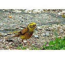 Meager Pickings Here! Yellowhammer- Southland NZ Photographic Print