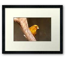 Tweety Bird! - Canary - Southland NZ Framed Print