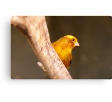 Tweety Bird! - Canary - Southland NZ Canvas Print