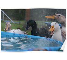 Laughing Ducks Poster
