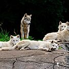 Arctic Wolf Pack by Michael Cummings
