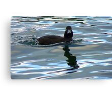 Did I Win The Diving Contest? - Black Teal Duck - Queenstown NZ Canvas Print