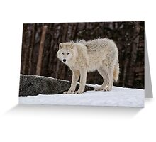 Arctic Wolf in Snow Greeting Card