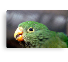 The King's Baby - Baby King Parrot - Gore Southland Canvas Print
