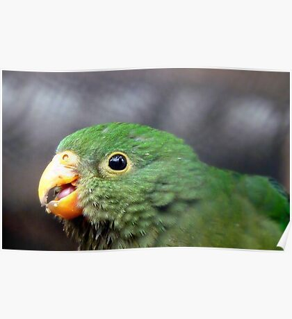 The King's Baby - Baby King Parrot - Gore Southland Poster