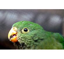The King's Baby - Baby King Parrot - Gore Southland Photographic Print