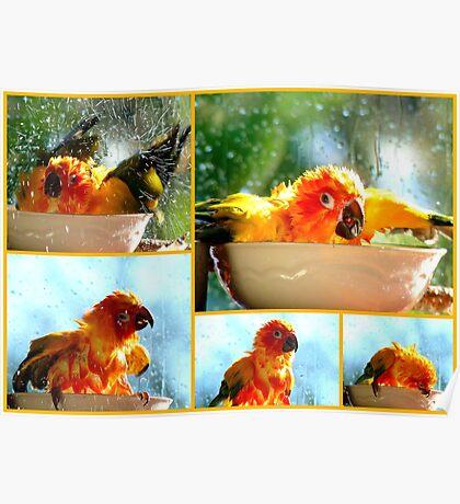 The Joy of Bathing!! - Sunshine - Sun Conure - NZ Poster