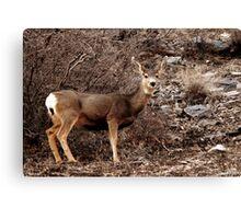 Mule Deer Doe - American Fork Canyon Canvas Print