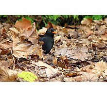 Did you Knock? - Blackbird - Gore NZ Photographic Print