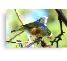 YUK!! This Berry Tastes Off!! - Silvereye - Gore NZ Canvas Print