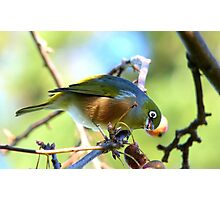YUK!! This Berry Tastes Off!! - Silvereye - Gore NZ Photographic Print