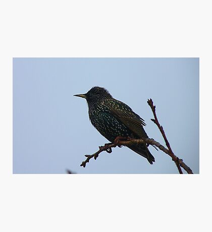 A Star In The Mist! - Starling - Southland NZ Photographic Print