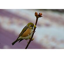 Is it Winter Or Spring? - Silver-Eye - Southland NZ Photographic Print