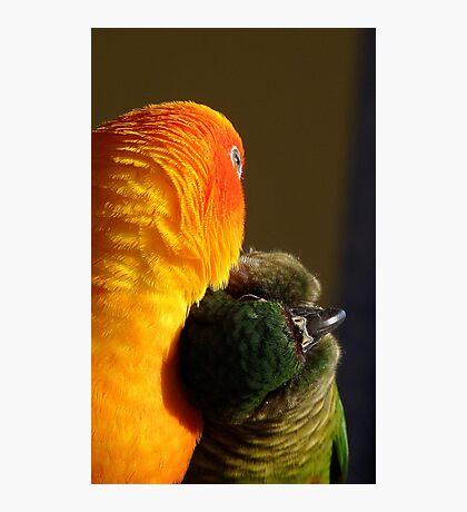 I Love Sunshine!!! - Conures Preening - NZ Photographic Print