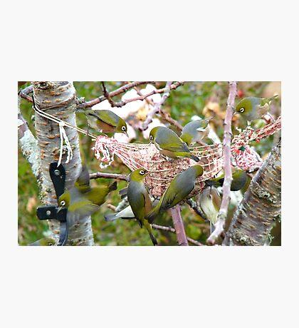 The Bird Feeder! Silver-Eyes Feeding - Soutland NZ Photographic Print