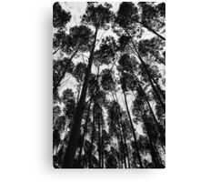 Eucalyptus trees in Brazil Canvas Print
