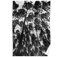 Eucalyptus trees in Brazil Poster