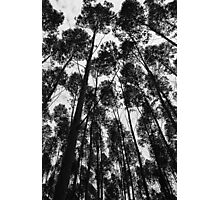 Eucalyptus trees in Brazil Photographic Print