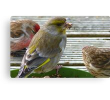 You Got A Napkin For Me? - Greenfinch - NZ Southland Canvas Print