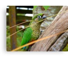 Wild Thing, You Make My Heart Sing! Maroon-Bellied Conure - NZ Canvas Print