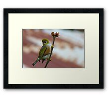 Hey, I'll Pose For A Painting! - Silver-Eye - NZ - Southland Framed Print