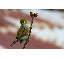 Hey, I'll Pose For A Painting! - Silver-Eye - NZ - Southland Photographic Print
