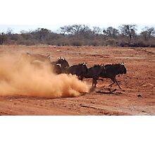BLUE WILDEBEEST (Connochaetes taurinus) Photographic Print