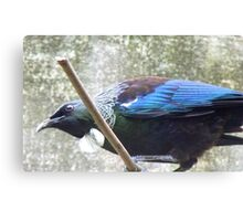 I Have A Feathred Scarf! - Tui - NZ Southland Canvas Print