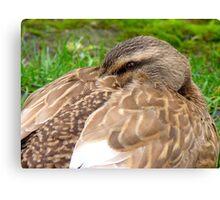 Hey!! I'm Trying To Take A Nana Nap Here! - Mallard Duck - NZ Canvas Print