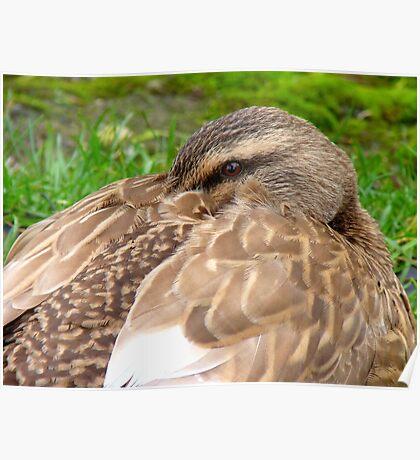 Hey!! I'm Trying To Take A Nana Nap Here! - Mallard Duck - NZ Poster