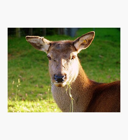 Oops!, No One Told Me It Was Stag Night!! - Deer - NZFemale buck Photographic Print