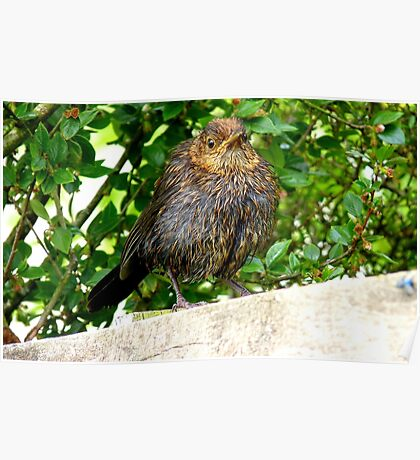I'll Dry Off With A Little Help From The Sun!! - Juvenile Blackbird - NZ Poster