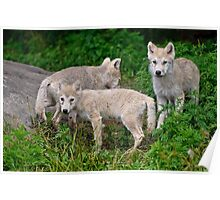 Arctic Wolf Pup Trio  Poster