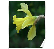 Daffodil 02 Poster
