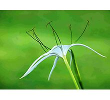 THE SPIDER LILY Photographic Print