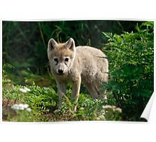 Arctic Wolf Pup - Update Poster