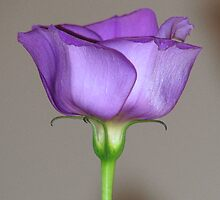 Purple Lisianthus 02 by Sharon Perrett