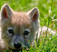 If they could only stay so young - Arctic Wolf Pup Sticker