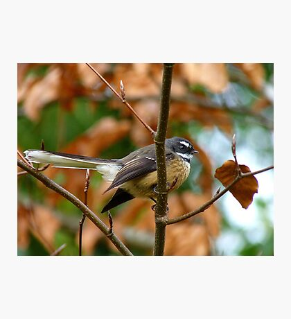 Poetry In Motion - Fantail - NZ Photographic Print