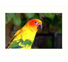 Did You Say Handsome!! - That's Me! - Sun Conure - NZ Art Print