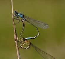 damselflies by richard clarke