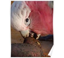 Hey!!! Who Needs A Spud Peeler - Galah - NZ Poster