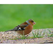 The Tiny Seed - Where Shall I Plant It? - Chaffinch - NZ Photographic Print