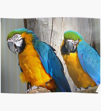 Oooh! - It's On The Tip Of My Tongue! - Macaw - NZ Dunedin Poster