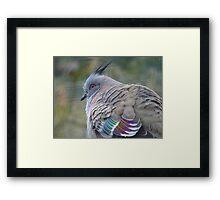 I Am a Dreamer - Crested Bronze-winged Pigeon - NZ Framed Print