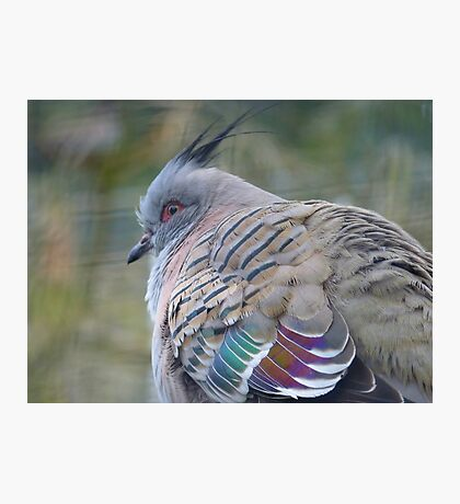 I Am a Dreamer - Crested Bronze-winged Pigeon - NZ Photographic Print