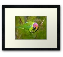Did You Know I'm A Plum Head?!! - Plum-Headed Parakeet -NZ Dunedin Framed Print