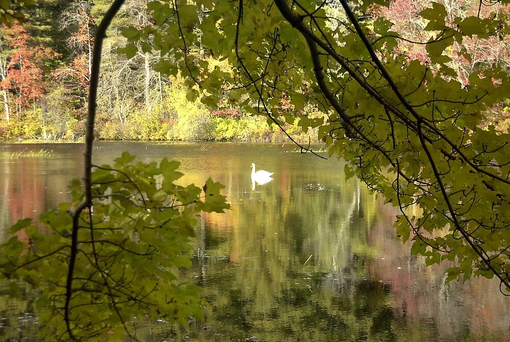 Postcard Swan by finnomanon