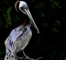 Portrait of a pelican by joemc